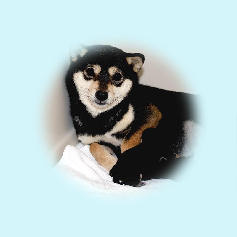極小豆柴母犬 ナデシコちゃん