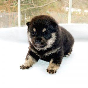 極小豆柴母犬 ナデシコちゃんa