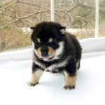 極小豆柴母犬 ナデシコちゃんb