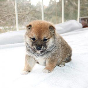 極小豆柴母犬 トトちゃんの子