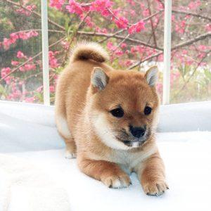 極小豆柴母犬 かわまきちゃんの子