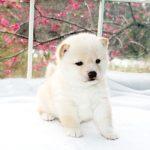 極小豆柴母犬 スイレンちゃんの子b