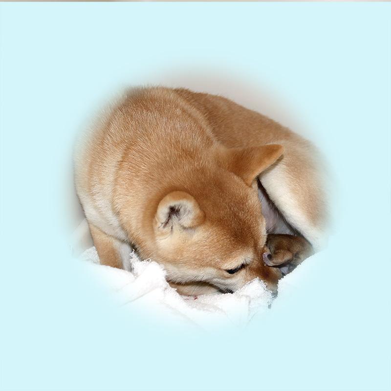 極小豆柴母犬 かわまきちゃん