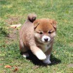 豆柴母犬 メンマちゃんの子b