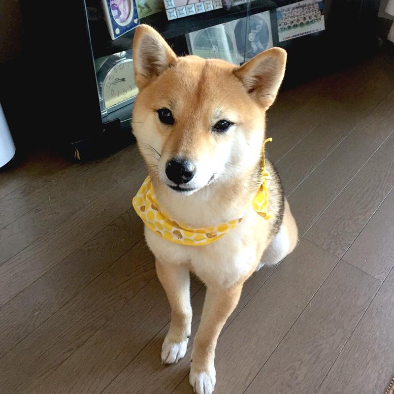 極小豆柴犬 アズキちゃん
