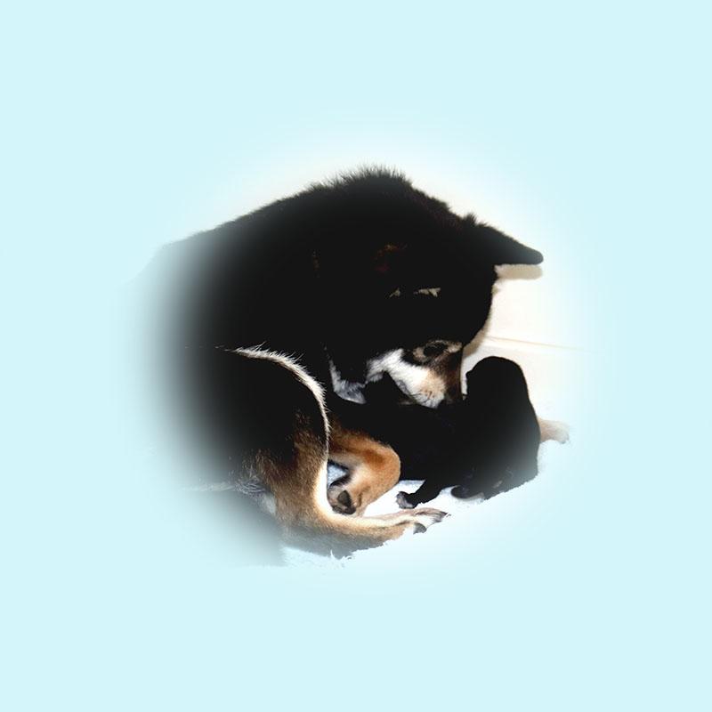 極小豆柴母犬 イスカちゃん