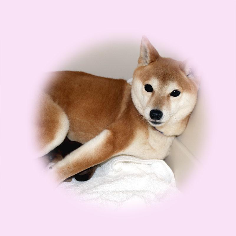 豆柴母犬 メンマちゃん