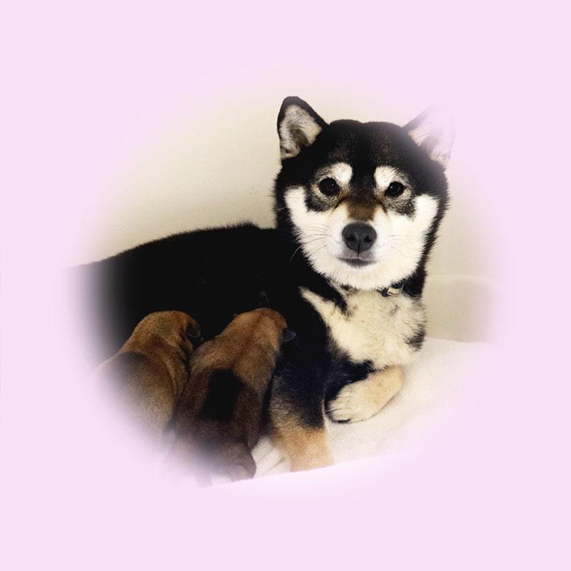 極小豆柴母犬 ノリコちゃん