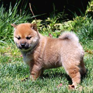 極小豆柴母犬 ノリコちゃんの子b