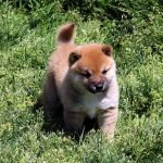 極小豆柴母犬 セナちゃん子