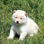 極小豆柴母犬 ナコちゃんの子b