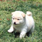 極小豆柴母犬 ナコちゃんの子c