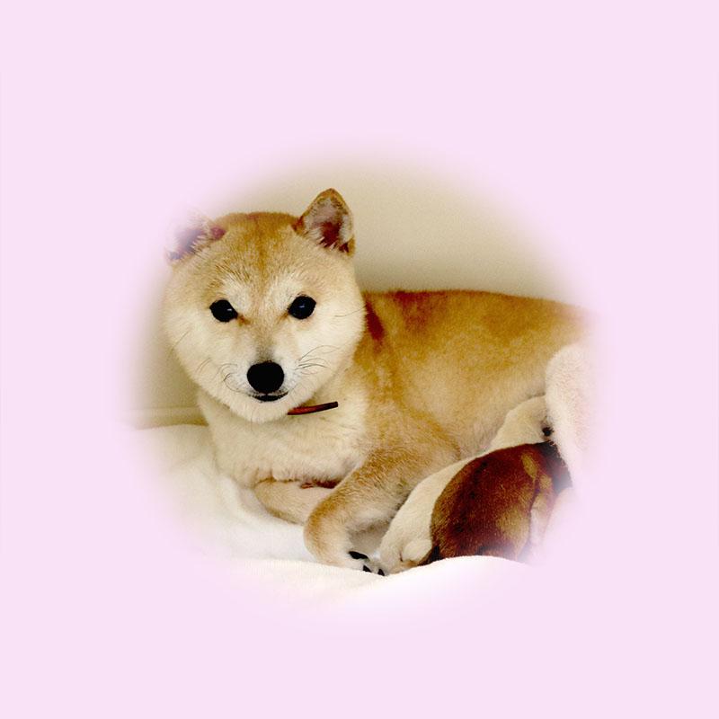 極小豆柴母犬 ナコちゃん