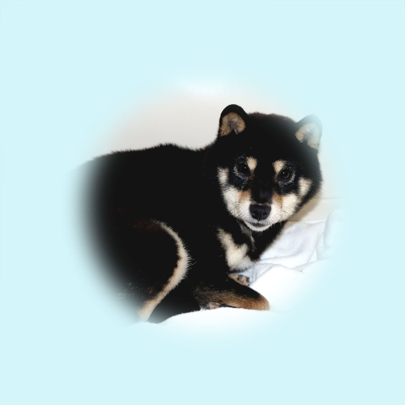 極小豆柴母犬 キコちゃん