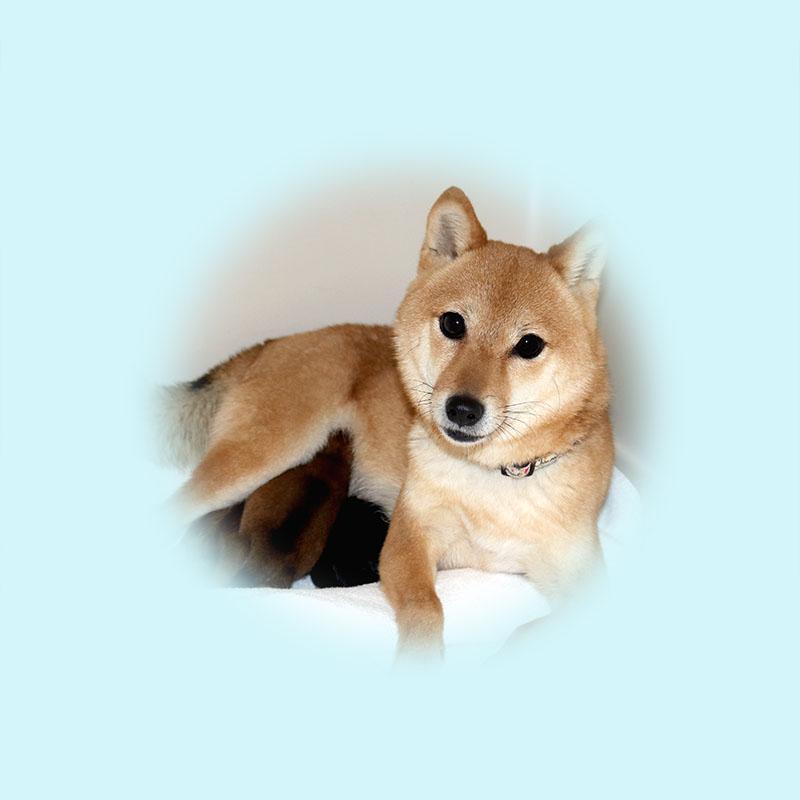 極小豆柴母犬 チエちゃん