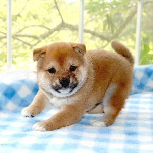 小豆柴母犬 ララちゃんの子b