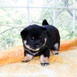 極小豆柴母犬 マリモちゃんの子
