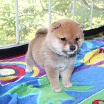 極小豆柴母犬 ヒマリちゃんの子b