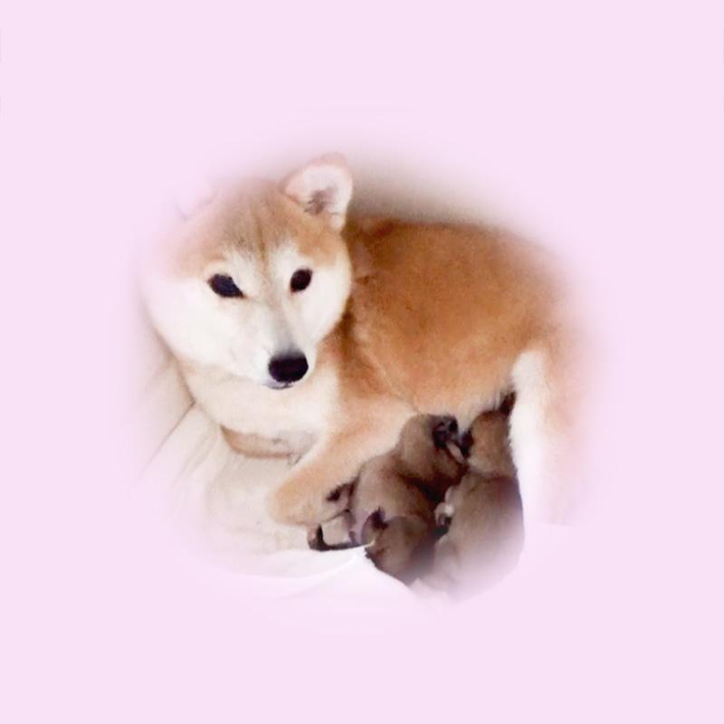 極小豆柴母犬 エイちゃん