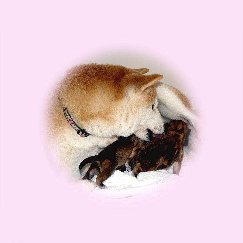 小豆柴母犬 ララちゃん