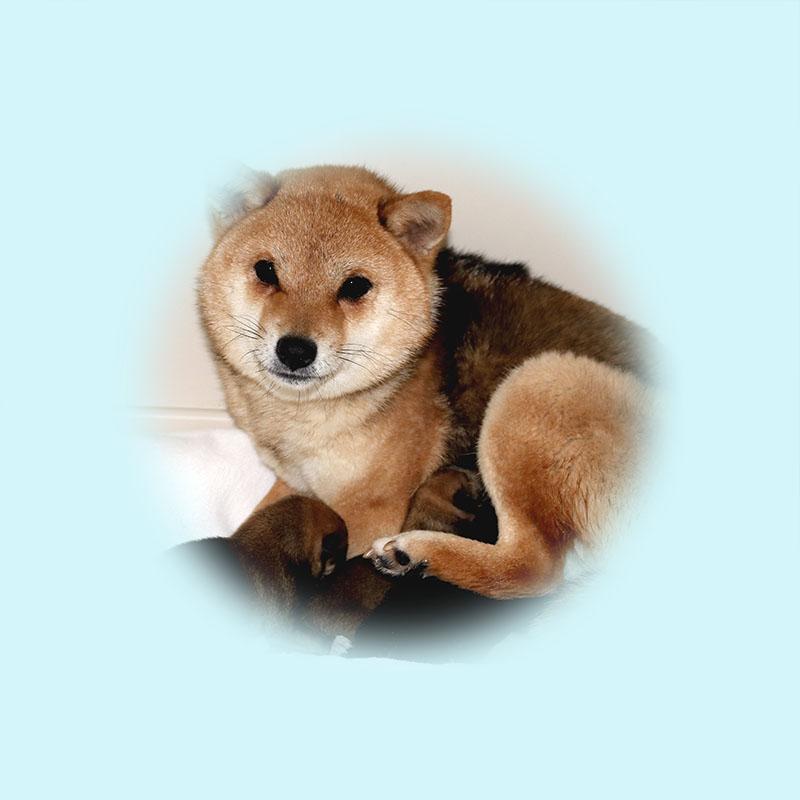 極小豆柴母犬 アルトちゃん