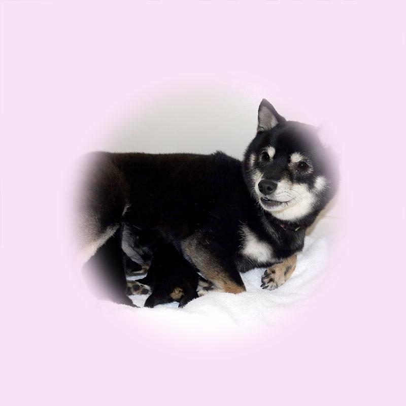 極小豆柴母犬 つゆきちゃん