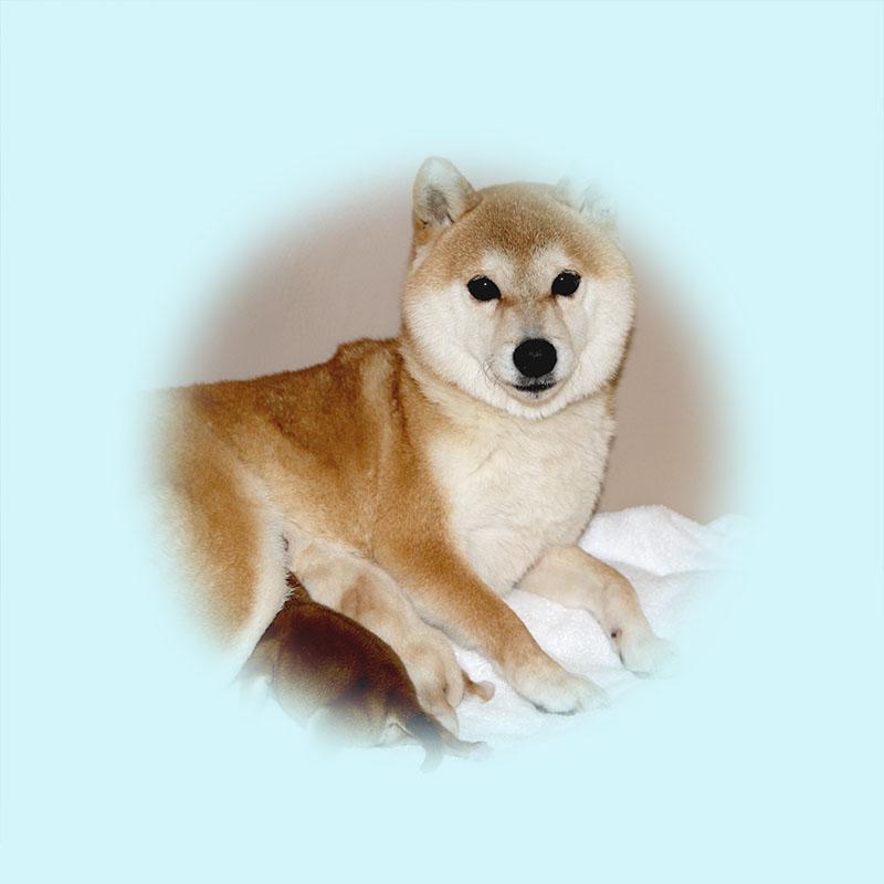 極小豆柴母犬 ミルキィちゃん