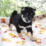 極小豆柴母犬 アポロちゃんの子b