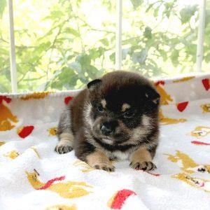 極小豆柴母犬 レアちゃんの子