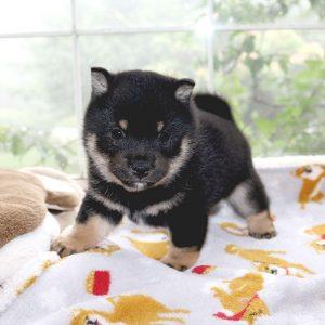 極小豆柴母犬 エボシちゃんの子b