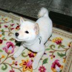 生後70日の豆柴子犬のガラちゃん