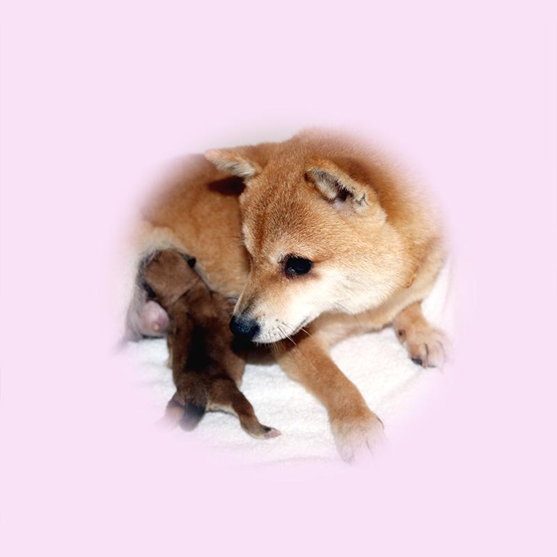 極小豆柴母犬 オヤキちゃん