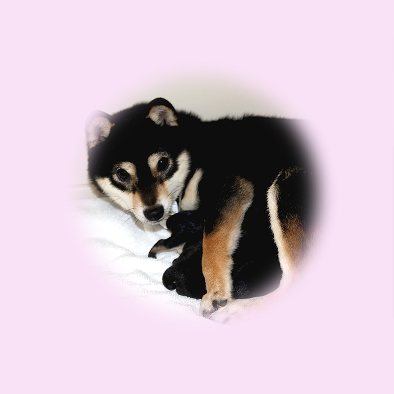 極小豆柴母犬 レニちゃん