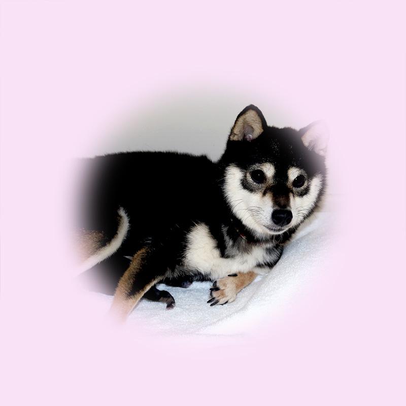 極小豆柴母犬 レアちゃん