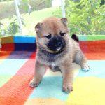 極小豆柴母犬 ミサトちゃんの子b