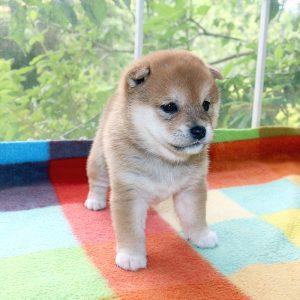 極小豆柴母犬 チヅルちゃんの子b