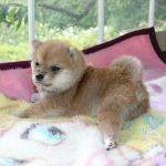 極小豆柴母犬 ツムギちゃんの子b