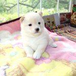 極小豆柴母犬 ツムギちゃんの子c