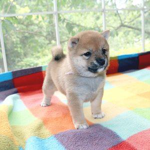 極小豆柴母犬 ユナちゃんの子b