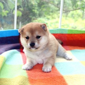 極小豆柴母犬 コトちゃんの子b