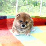 極小豆柴母犬 ウララちゃんの子