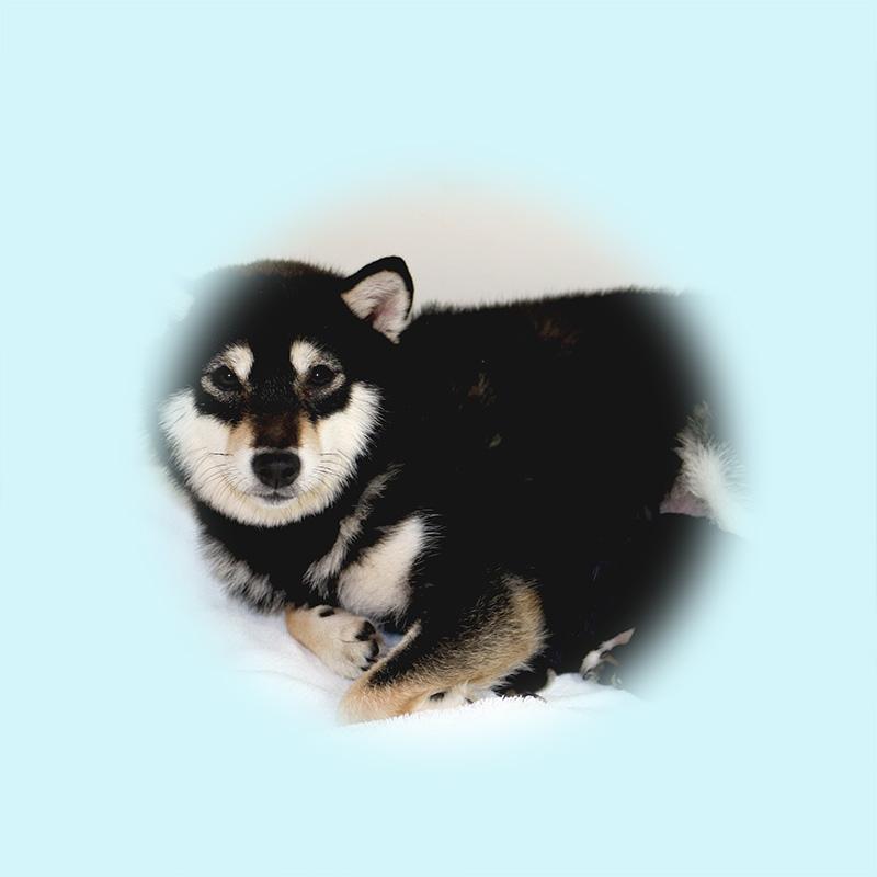 極小豆柴母犬 チャオちゃん
