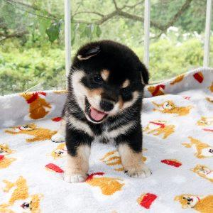 極小豆柴母犬 チャオちゃんの子b