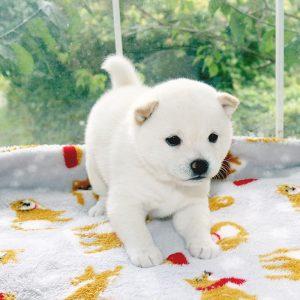 極小豆柴母犬 ココちゃんの子