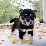 極小豆柴母犬 チハルちゃんの子b