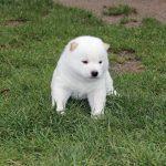 豆柴犬の白色