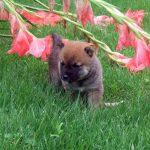 小豆柴子犬