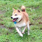 FP-036 豆柴里親犬
