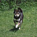 FP013 豆柴里親犬