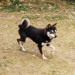 FP019 豆柴里親犬